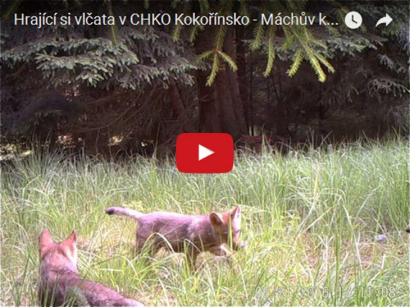 Hrající si vlčata v CHKO Kokořínsko - Máchův kraj