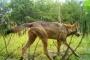 Vlci na Frýdlantsku a v Jizerských horách