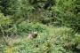 Medvěd na Valašsku napadl další zvířata, čeká ho odchyt