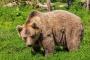 Odchyt medvěda by měl řídit kraj