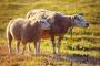 Vlci na východě Saska zabili čtyři desítky ovcí a koz