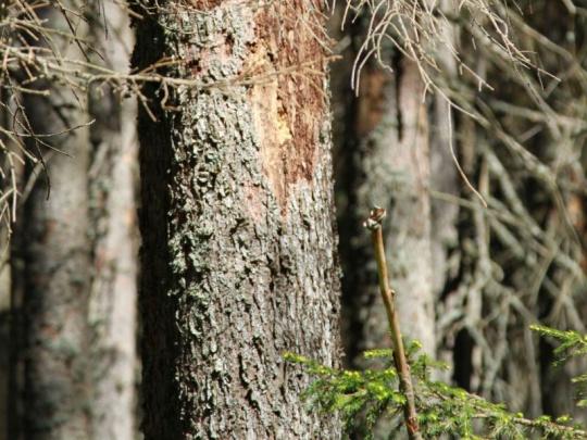 Polsku hrozí za kácení v Bělověžském pralese pokuta 100.000 eur denně