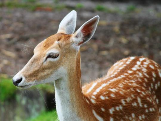 Nezvládnuté stavy jelena siky decimují přírodu