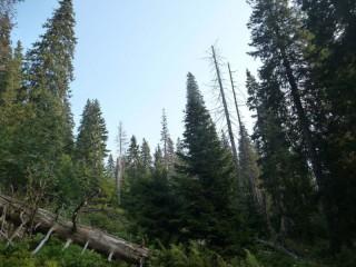 Věk stromů formuje strukturní rozmanitost horských smrčin