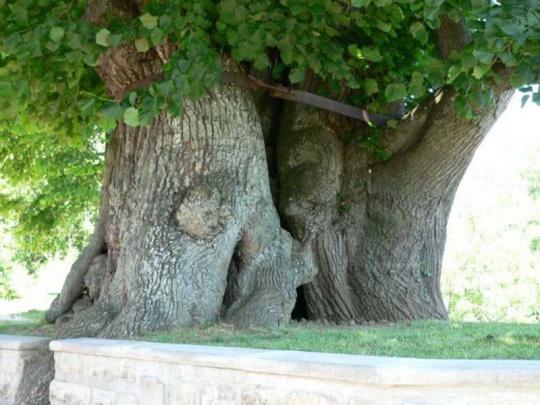 Lípa v Tatobitech se může stát evropským stromem roku 2016