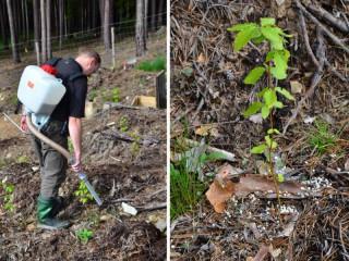 Jak pomoci lesním sazeničkám na chudých a degradovaných půdách? Hnojením