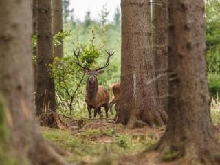Na Vysočině žije nejméně jelenů v ČR, víc je zajíců a kachen