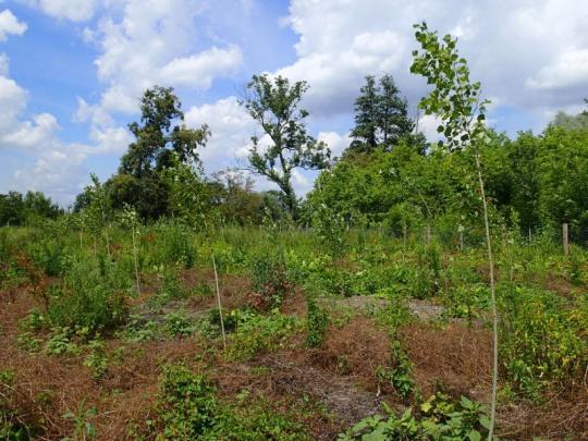 Využití domácích druhů topolů při obnově lesa
