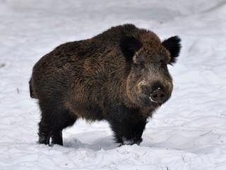 Divoká prasata z dovozu obsahovala svalovce