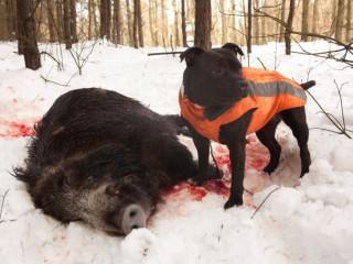 Veterináři potvrdili smrtelnou nemoc u psa, nakazil se od divočáka