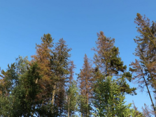Jarní rojení začíná: záludnosti při vyhledávání kůrovci napadených stromů