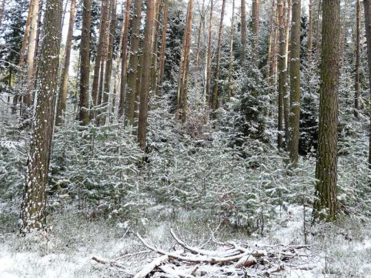 Lesníci dělají opatření proti zlodějům vánočních stromků i jmelí