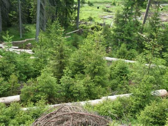 Počet mladých smrků v Národním parku Šumava prudce stoupá