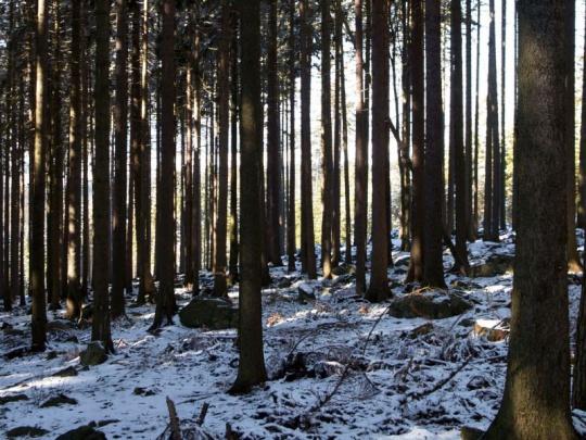 Science: Převaha jehličnatých lesů se podílí na globálním oteplování