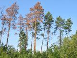 Zdravotní stav lesů se v roce 2020 mírně zlepšil, z dřevin je na tom nejlépe buk